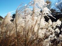 Dekoratives gefiedertes Gras, das im Wind unter einem blauen Sommerhimmel durchbrennt stockfoto