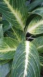 Dekoratives Gemüse Lizenzfreie Stockfotografie