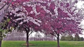 Dekoratives Kirsch-und Crabapple-Baum-Blühen stockbild