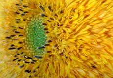 Dekoratives Sonnenblumengelb des Bildblumengartens Stockbilder