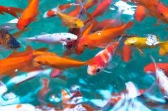 Dekorativt akvariefiskbad i dammet royaltyfria foton