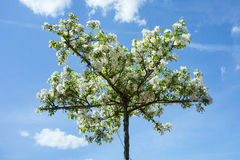 Dekorativt Apple-träd royaltyfri bild