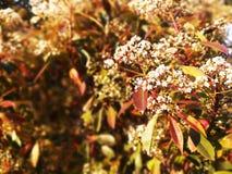 Dekorativt blomningträd med vita blommor Röda gula orange gröna sidor fotografering för bildbyråer