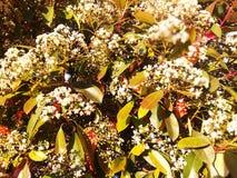Dekorativt blomningtr?d med vita blommor R?da gula orange gr?na sidor royaltyfri bild