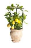 Dekorativt citronträd fotografering för bildbyråer