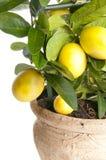 Dekorativt citronträd royaltyfria foton