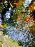 dekorativt damm för carpfiskkoi Arkivbild