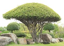 Dekorativt dvärg- träd Arkivfoto