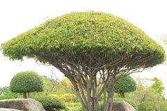 Dekorativt dvärg- träd Royaltyfri Bild