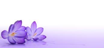 dekorativt element för krokus Royaltyfri Fotografi