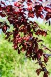 Dekorativt fruktträd Arkivbilder