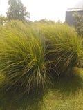 dekorativt gräs royaltyfria foton