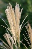 dekorativt gräs Royaltyfri Foto