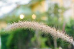 dekorativt gräs Royaltyfri Fotografi