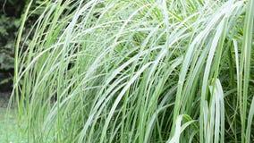 dekorativt gräs lager videofilmer
