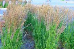 dekorativt gräs arkivbild