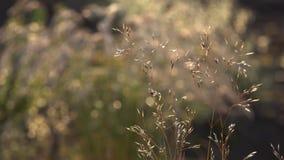 Dekorativt gräs: Gungning för springbrunngräs i vinden lager videofilmer