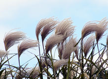 Dekorativt gräs i winden Arkivfoton