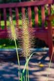 Dekorativt gräs kanske av fjädervasstypen arkivfoton