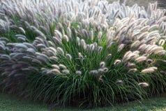 Dekorativt gräs Moudry Arkivfoton