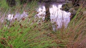 Dekorativt gräs på dammet arkivfilmer