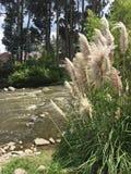 Dekorativt gräs på Rio Tomebamba i Cuenca Ecuador arkivbilder