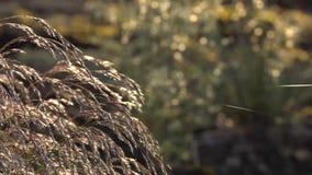 Dekorativt gräs: Springbrunngräs svänger i garnet för spindeln för vindmyran det tunna lager videofilmer
