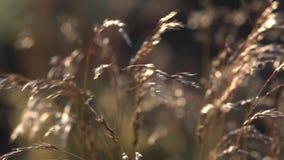 Dekorativt gräs: Springbrunngräs svänger i vinden arkivfilmer