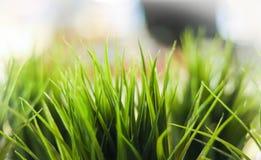 Dekorativt grönt gräs för närbild inomhus arkivfoto