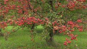 Dekorativt japanskt äppleträd med frukter i botanisk trädgård arkivfilmer