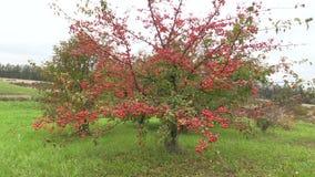 Dekorativt japanskt äppleträd med frukter i botanisk trädgård stock video