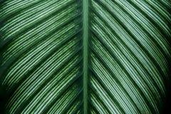 Dekorativt lövverkblad av denband Calathea växten som naturlig texturbakgrund fotografering för bildbyråer