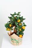 Dekorativt mandarinträd Cowano salamondin, margarita, Nagami, fukushu Kalamandin i en gåvaask Fruktträd som en gåva isolerat Royaltyfri Foto
