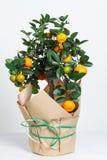 Dekorativt mandarinträd Cowano salamondin, margarita, Nagami, fukushu Kalamandin i en gåvaask Fruktträd som en gåva isolerat Royaltyfri Bild