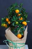 Dekorativt mandarinträd Cowano salamondin, margarita, Nagami, fukushu Kalamandin i en gåvaask Fruktträd som en gåva isolerat Arkivbild
