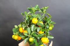 Dekorativt mandarinträd Cowano salamondin, margarita, Nagami, fukushu Kalamandin i en gåvaask Fruktträd som en gåva isolerat Royaltyfri Fotografi
