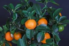 Dekorativt mandarinträd Cowano salamondin, margarita, Nagami, fukushu Kalamandin i en gåvaask Fruktträd som en gåva isolerat Royaltyfria Foton