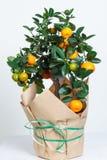 Dekorativt mandarinträd Cowano salamondin, margarita, Nagami, fukushu Kalamandin i en gåvaask Fruktträd som en gåva isolerat Fotografering för Bildbyråer