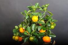 Dekorativt mandarinträd Cowano salamondin, margarita, Nagami, fukushu Kalamandin i en gåvaask Fruktträd som en gåva isolerat Arkivbilder