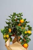 Dekorativt mandarinträd Cowano salamondin, margarita, Nagami, fukushu Kalamandin i en gåvaask Fruktträd som en gåva isolerat Royaltyfria Bilder