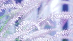 Dekorativt purpurfärgat springbrunngräs arkivfilmer