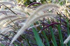 Dekorativt springbrunngräs Arkivfoto