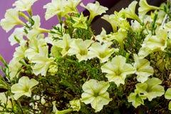 Dekorativt tänd - gula blommor på flowerbed_en royaltyfri bild