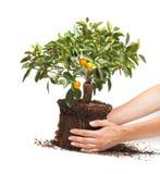 Dekorativt tangerinträd i händer Royaltyfria Bilder