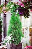 Dekorativt thujaträd för gatagarnering royaltyfri bild