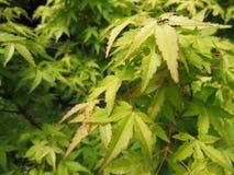 Dekorativt träd för grön hessei för bladAcer palmatum i botaniska trädgården fotografering för bildbyråer