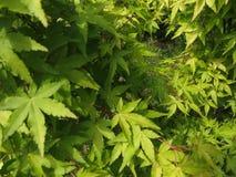 Dekorativt träd för grön hessei för bladAcer palmatum i botaniska trädgården royaltyfria bilder