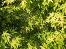 Dekorativt träd för grön hessei för bladAcer palmatum i botaniska trädgården royaltyfri fotografi