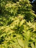 Dekorativt träd för grön hessei för bladAcer palmatum i botaniska trädgården arkivbild