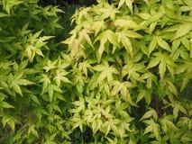 Dekorativt träd för grön hessei för bladAcer palmatum i botaniska trädgården arkivbilder